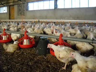 granja-avicola-con-trampa-2