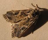 spodoptera_littoralis
